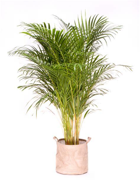 plante verte interieur depolluante grande plante verte d int 233 rieur d 233 polluante areca 130 150 cm