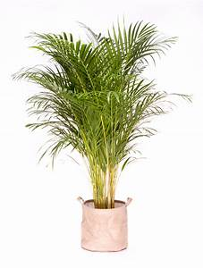 grande plante verte d39interieur depolluante areca 130 With plante verte d interieur photo