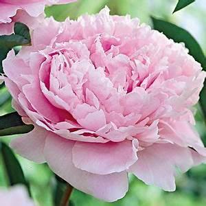 Langage Des Fleurs Pivoine : sarah bernhardt peony pivoines fleur jardin belles fleurs et pivoine ~ Melissatoandfro.com Idées de Décoration