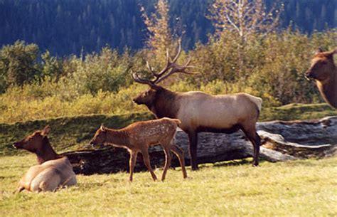 Roosevelt Elk Species Profile, Alaska Department Of Fish