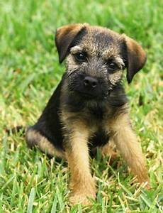 Border terriers are cute | Border terrier puppy, Border ...