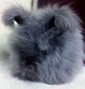 Blue English Angora Rabbit