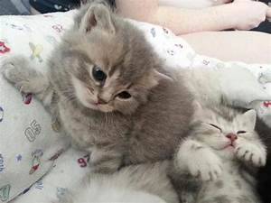Blue Tabby British Shorthair Kittens. | Rochester, Kent ...
