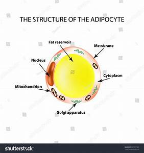 Anatomical Structure Fat Cells Adipocyte Infographics
