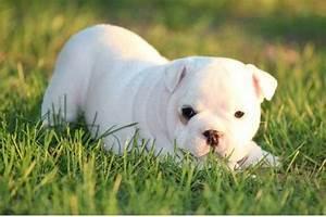 Cute White Bulldog Puppy