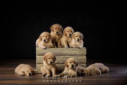 Retriever Puppies Golden Adorable Pet Eight Litter