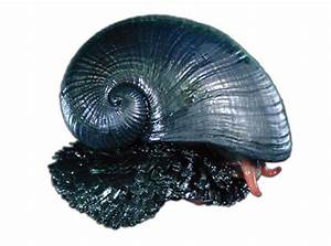 Three-Layered Snail Shell Inspires Better Body Armor ...