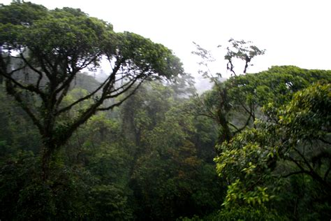 canap tress canopy trees in the rainforest images