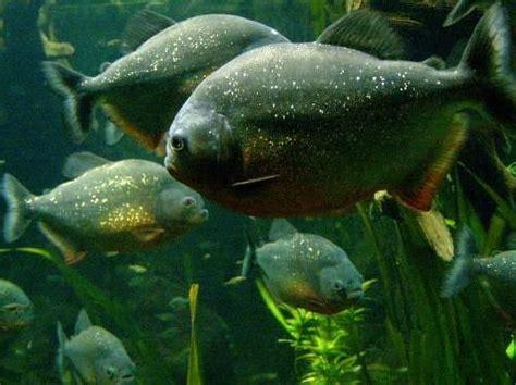 animal pictures piranha fish tropical rainforest animals