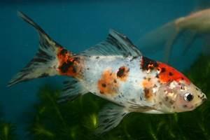 Goldfisch Haltung Im Teich : goldfische ~ A.2002-acura-tl-radio.info Haus und Dekorationen