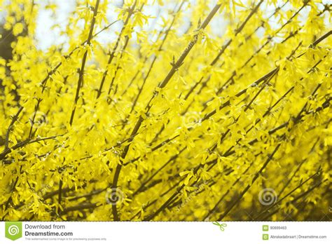gelb blühender strauch gelber bl 252 hender strauch busch bl 252 te fr 252 hling im