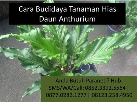 panduan lengkap budidaya tanaman hias daun anthurium