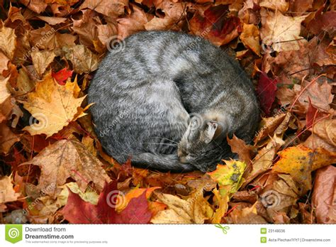 cat  autumn leaves royalty  stock image image