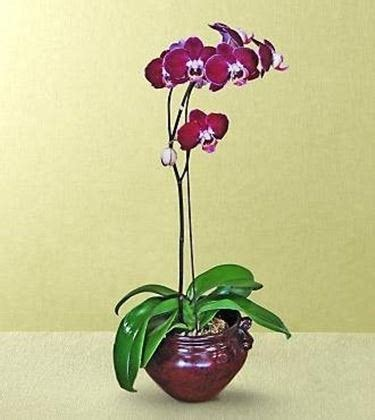 orchidea in vaso trasparente vaso per orchidea orchidee vaso adatto alle orchidee