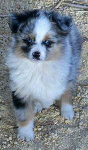 Toy Australian Shepherd Poodle Dogs Puppies For Sale ...