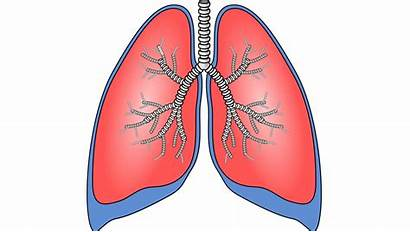 Lungs Animal Science Grown Lab Lung Intended