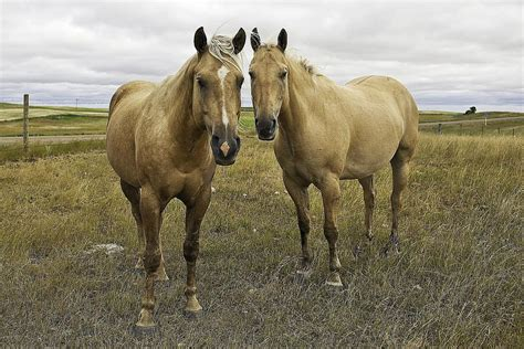 quarter horse american horses breed north america light popular most hypp meet standing gillespie ken getty pasture americas ranking oldest