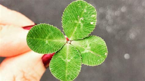 leaf clover    symbolize