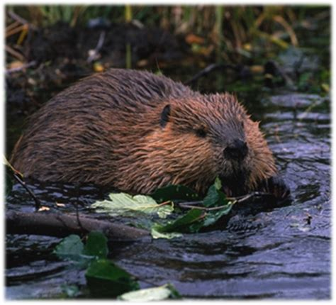 Restoration with Beavers   Mid-Columbia Fisheries ...