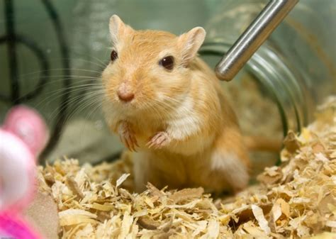 Differential Diagnosis In Gerbils