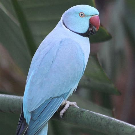 indian ringneck ringneck parakeet facts pet care temperament diet pictures singing wings aviary