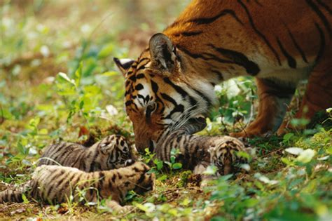 Tigerpedia   Animal Planet