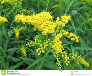 Gelbe Sommerblumen Mehrjährig : goldrute gelbe sommerblumen stockbild bild von gr n farben 55739535 ~ Frokenaadalensverden.com Haus und Dekorationen