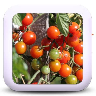 cuisiner coulemelle icon 02b tomatecerise je cuisine mon potager