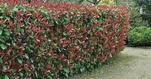 Sichtschutz Bambus Pflanze : immergr ne pflanzen sichtschutz ~ Sanjose-hotels-ca.com Haus und Dekorationen