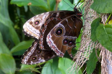 Zilie morfīdi LU Botāniskā dārza Tropu tauriņu mājā ...