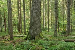 FileBayerischer Wald  Aufichtenwald 001jpg  Wikimedia Commons
