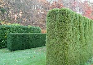 Sichtschutz Garten 2 Meter Hoch : 10 schnellwachsende hecken top ten der meist immergr nen str ucher teil 1 leonhards ~ Bigdaddyawards.com Haus und Dekorationen
