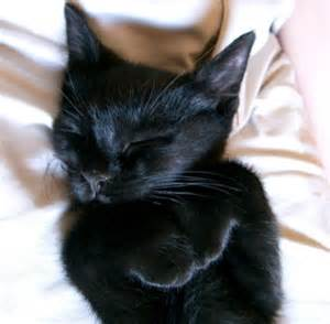 baby black cat baby black kitten black white cats