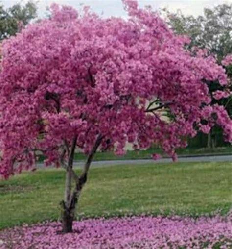 jual bibit tanaman hias tabebuya bunga pink pohon bunga