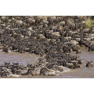 Blue Wildebeest Migration Photograph by Suzi Eszterhas