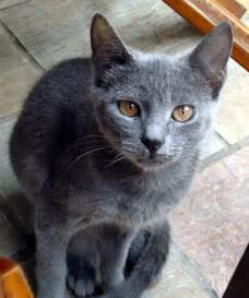 gray cats crete cats grey cat grey cat in crete almazuk