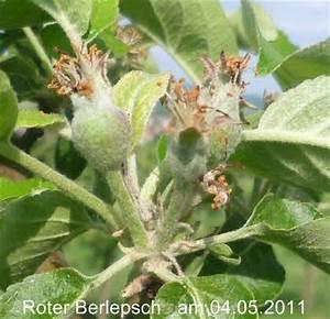Apfelbäume Schneiden Wann : berlepsch apfel berlepsch stock photos berlepsch stock ~ Lizthompson.info Haus und Dekorationen
