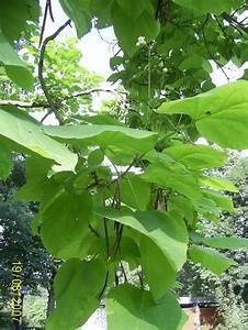 Kugel Trompetenbaum Schneiden : trompetenbaum winterhart trompetenbaum pflanzen pflegen ~ Lizthompson.info Haus und Dekorationen