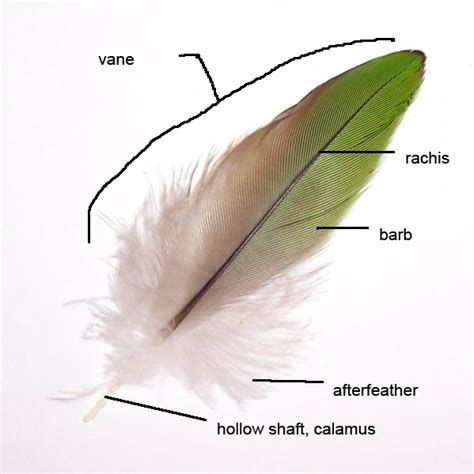 feather simple english wikipedia   encyclopedia