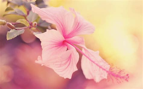 Hibiscus Flower Wallpapers