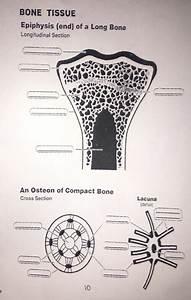 Compact Bone Tissue Diagram