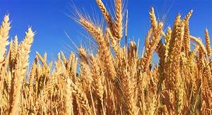 Wheat Grains Use Their Own Photosynthesis Pathway