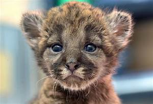 Precious Panther Cub Makes His Debut Picture   Cutest baby ...