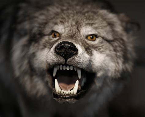 angry wolf stock  pictures royalty  images