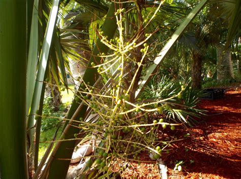 sabal palmetto lisa flowers    time