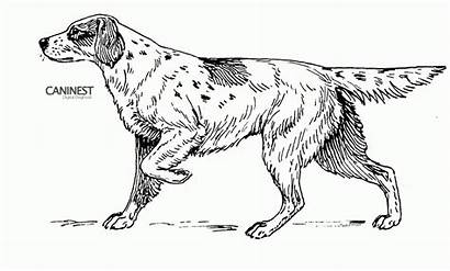 Coloring Dog Pages Dogs Setter Realistic Drawings