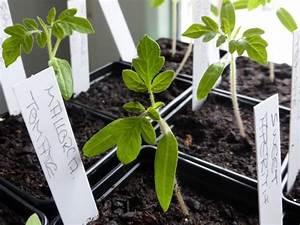 Tomaten Selber Ziehen : tomaten aus samen selber ziehen anleitung vom samen bis zum pflanzen ~ Whattoseeinmadrid.com Haus und Dekorationen