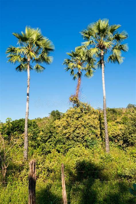Carnauba Palm tree stock image. Image of flower, food ...