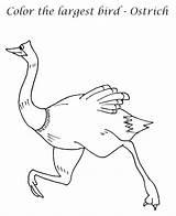 Emu Ostrich Coloring Bird Largest Printable Getdrawings sketch template