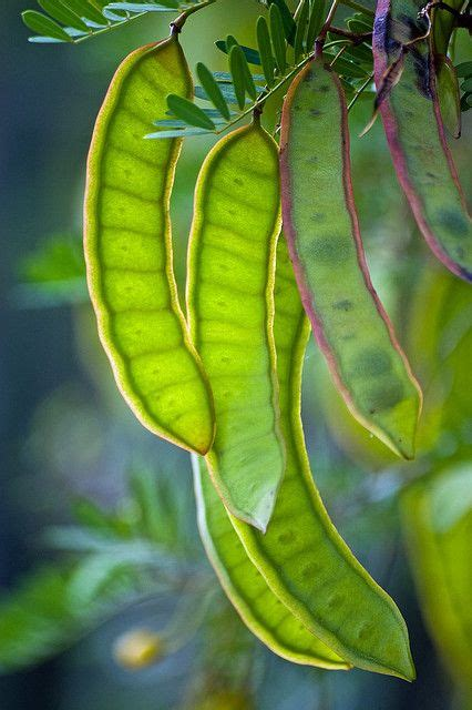 mesquite tree seed pods beautiful landscapes pinterest